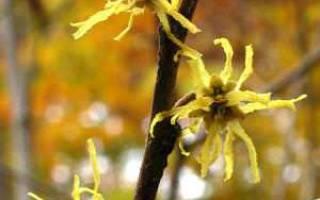 Гамамелис весенний: фото, описание, посадка и уход