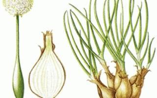 Как сажать и выращивать лук-шалот (семейный): особенности ухода