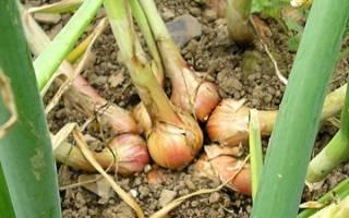 Выращивание семейного лука