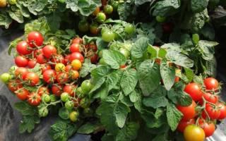 Низкорослые томаты Видимо-невидимо
