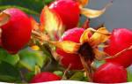 Как вырастить шиповник в саду