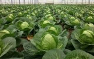 Как правильно выбрать и вырастить семена ранней капусты