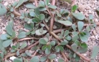 Портулак огородный: описание, посев, уход и применение