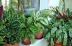 Калатея: уход в домашних условиях, пересадка растения