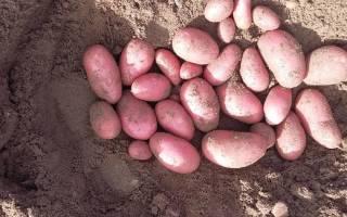 Урожайный сорт картофеля «Вишенка» («Беллароза»)