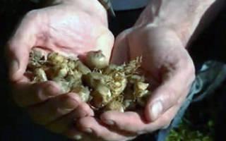 Выращивание крокуса сорта «Романс» из луковиц
