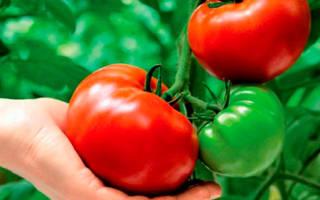 Лучшие сорта томатов, устойчивых к фитофторозу, для открытого грунта и теплицы