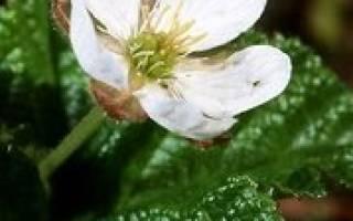 Морошка — особенности выращивания