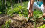 Как правильно проводить мульчирование почвы