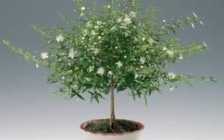 Эвкалипт: как вырастить дерево в домашних условиях