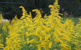 Как вырастить золотарник на дачном участке, советы садоводам