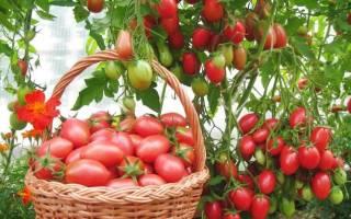 Томат Чио-Чио-Сан — идеальный сорт для маринования