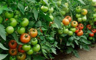 Неприхотливая селекционная новинка: помидоры сорта Торбей F1