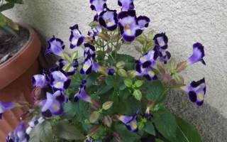 Торения — что это за цветы? Торения: посадка и уход