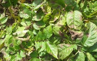 Как бороться с фитофторой на картофеле, чем можно обработать