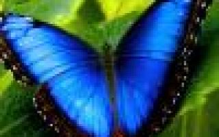 Колеус, посадка и выращивание