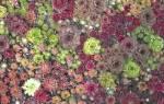 Сорта молодила: разнообразие каменных роз для дачного декора