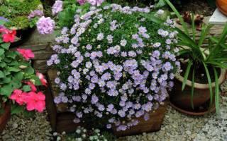 Брахикома иберисолистная — грациозное растение для сада и контейнера