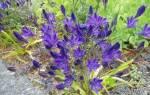 Выращивание трителейи, уход за редкими луковичными растениями