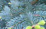 Хвойные деревья и кустарники: виды и названия