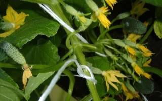 Гибрид огурцов — Пучковое великолепие F1: выращивание корнишонов в теплице, открытом грунте и на подоконнике