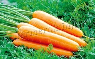 Королева осени: особенности сорта моркови