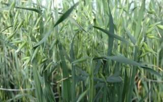 Правила осеннего посева овса в качестве сидерата