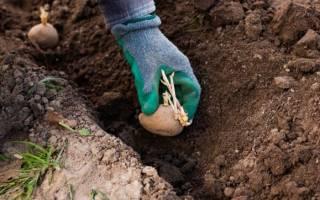 Оптимальные сроки посадки картофеля: когда сажать в различных регионах