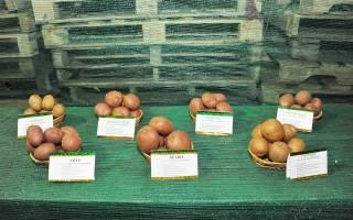 Неприхотливый среднеспелый сорт картофеля — Ирбитский — от отечественных селекционеров