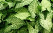 Комнатное растение Сингониум — приметы и суеверия