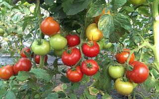 Какие сорта помидор самые урожайные