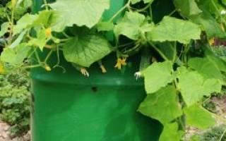 Выращивание огурцов в бочках — экономим место не в ущерб урожаю