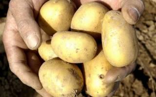 Описание сорта картофеля Уладар, особенности выращивания и ухода