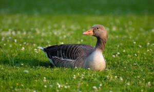 Сколько живут утки и от чего это зависит