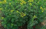 Выращивание руты на дачном участке