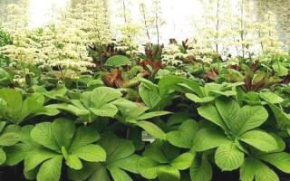 Совет 1: Роджерсия: особенности выращивания экзотического растения