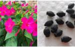Как вырастить мирабилис из семян, посадка растения рассадным способом