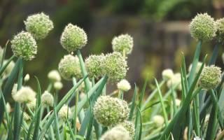 Многолетние луки в огороде