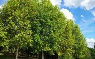 Как вырастить дерево платан