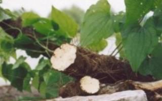 Корень адама: где растет, рецепты приготовления и способы лечения