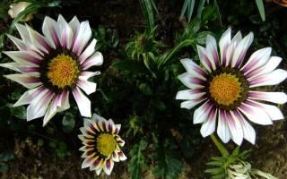 Газания — посадка и уход в открытом грунте