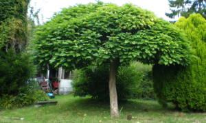 Особенности дерева катальпа, видовой состав и применение