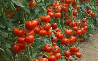Томат «Красная шапочка»: характеристика