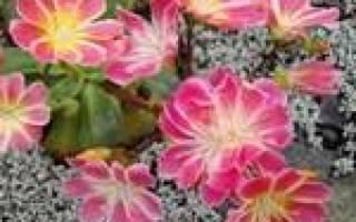 Левизия, посадка и уход за растением в домашних условиях
