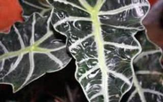 Растение Алоказия: комнатная красавица с грубоватым прозвищем