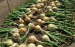 Как получить богатый урожай Эксибишена