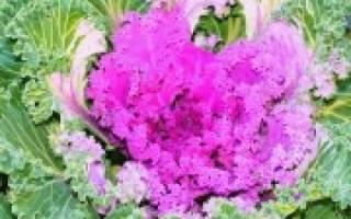 Самые популярные сорта капусты кале