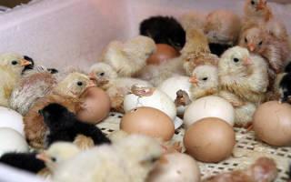 Вентиляция инкубатора: как она на выводимость птенцов