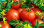 Томат Белый налив: уход и выращивание помидоров, пасынкование, описание и характеристика сорта