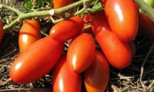 Выращивание томата Банан красный